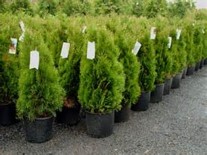 Emerald Green Arborvitae Potted Plants