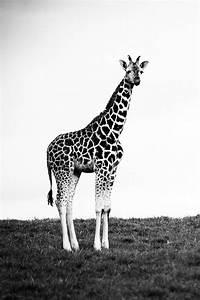 Black and white giraffe   Tumblr vibe \   Pinterest ...