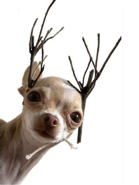 chihuahua reindeer  merry christmas   boys