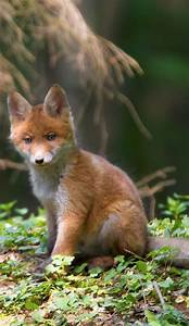 The 25+ best Baby fox pet ideas on Pinterest | Baby red ...