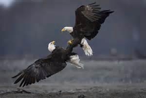 Bald Eagle Photography