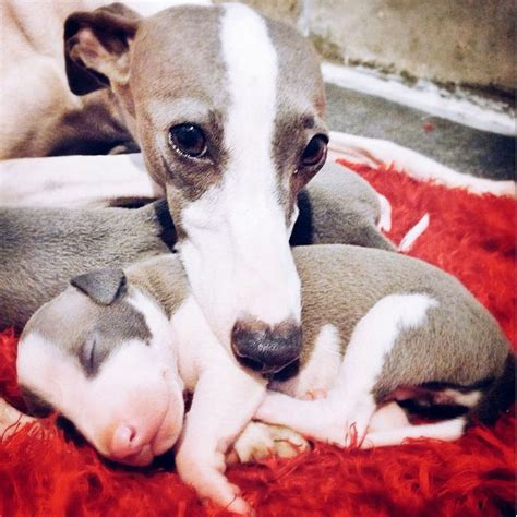 greyhound breed description history  overview