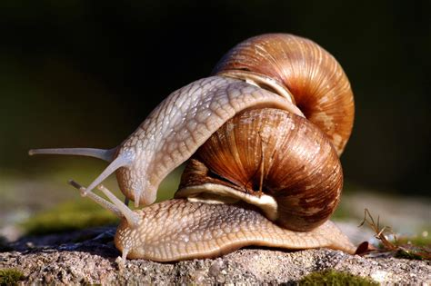 What Do Snails Think About When Having Sex