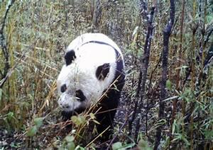 GIANT PANDAS | weehingthong