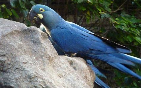 Rare Blue Macaw Born In São Paulo Zoo