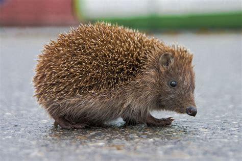 hedgehog facts