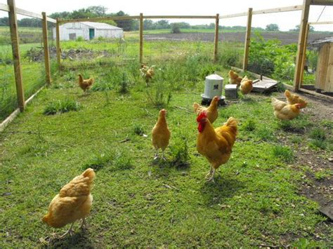 Backyard Chickens Forum by Pictures Advice On Chicken Yards Backyard Chickens