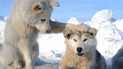 Husky Wallpapers Dogs Dog Huskies Puppies Wolf