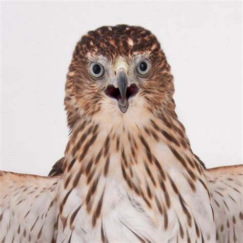 coopers hawk national geographic