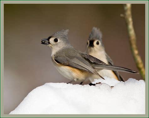 birds of maryland birds of a feather pinterest