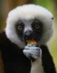 Madagascar Lemur Eating