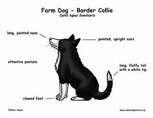 Farm Dog  Border Collie