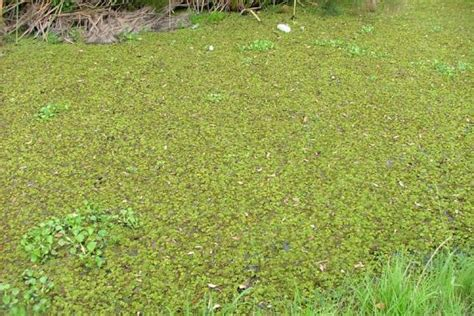 salvinia weed identification brisbane city council