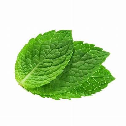 Mint Leaves Peppermint Clipart Spearmint Watermint Leaf