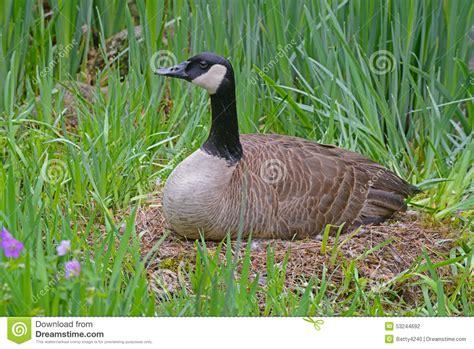 female canada goose sitting   nest stock photo