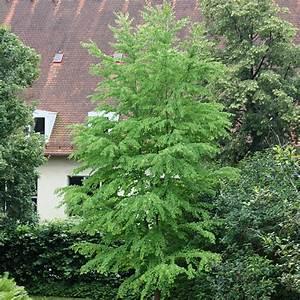 Baum Vorgarten Immergrün : judasblattbaum syn lebkuchenbaum cercidiphyllum ~ Michelbontemps.com Haus und Dekorationen