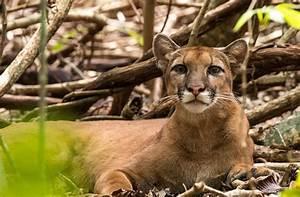 Corcovado National Park | Puma