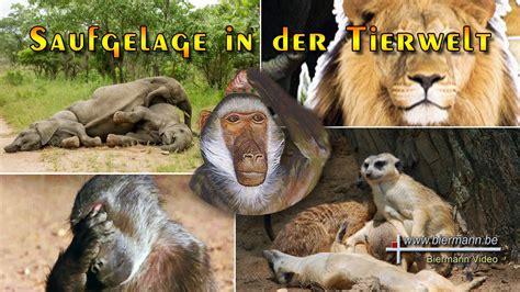 saufgelage  der tierwelt youtube