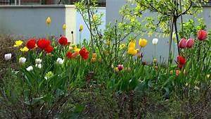 Tulpen Im Garten : tulpe tulipa im pflanzenlexikon ~ A.2002-acura-tl-radio.info Haus und Dekorationen