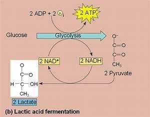 fermentation_lactate.html 09_17FermentationB.jpg