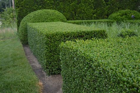 when to prune boxwood pruning boxwood dirt simple