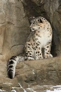 Zurich Zoo Snow Leopards
