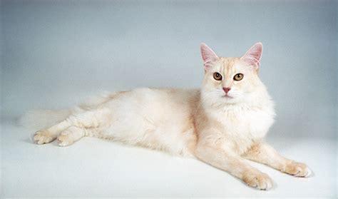 somali cat somali cat breed information