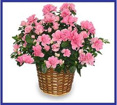 azaleas in pots care caring for indoor azaleas