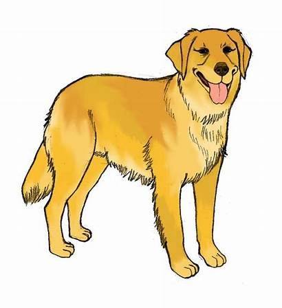 Retriever Golden Dog Draw Clipart Clip Yellow