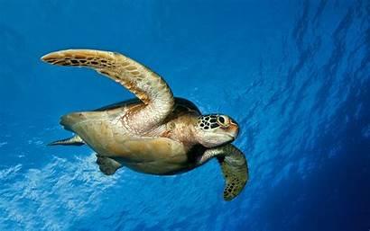 Turtle Background Turtles 4k Desktop Wallpapers Sea