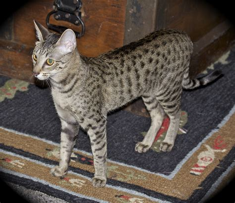 Savannah Cat Zuri  F4 Sbt Savannah Cat  A1 Savannahs