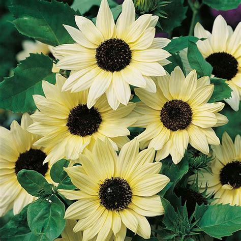 sunflower vanilla ice  wasms jual benih