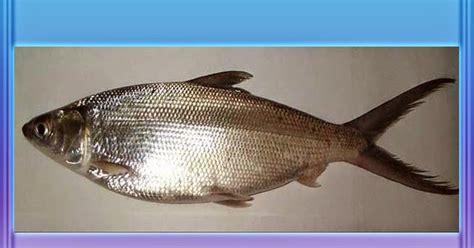 53 mewarnai gambar ikan salmon
