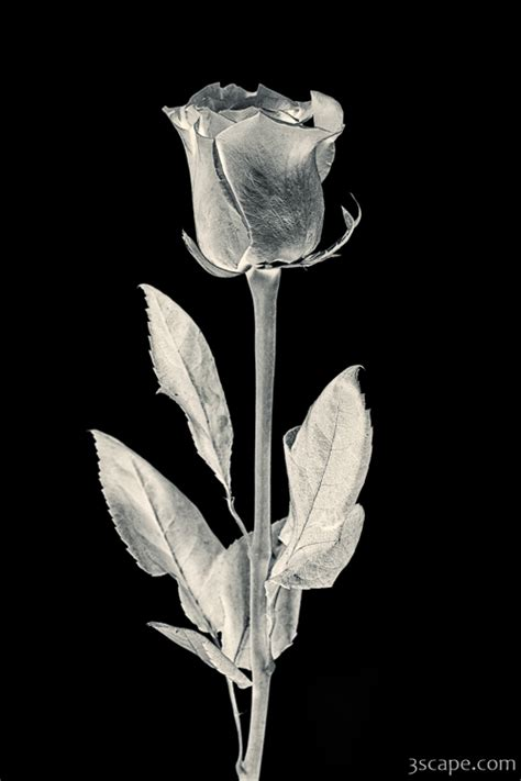 silver rose photograph fine art prints  adam