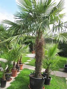 Kübelpflanzen Winterhart Bilder : trachycarpus fortunei hanfpalme winterhart ~ Markanthonyermac.com Haus und Dekorationen
