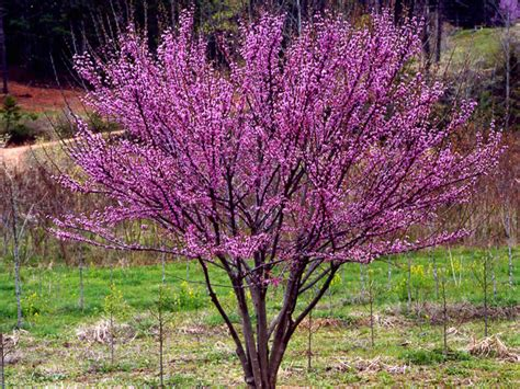eastern rosebud tree cercis canadensis ace of hearts eastern redbud