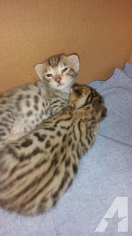 Gorgeous Purebred Savannah Kittens For Sale In Fenton