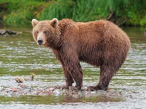 Brown bear - Wikipedia  Grizzly