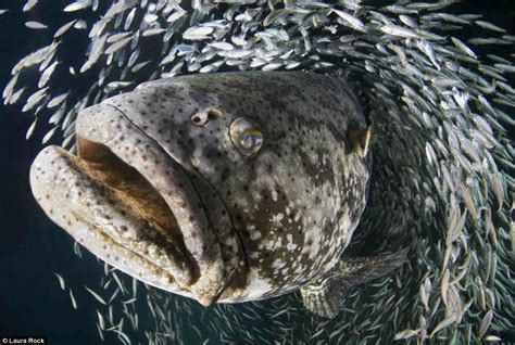 predators underwater dangerous florida marine photographs rsmas grouper goliath breathtaking fish between laura rock ocean creatures under animal