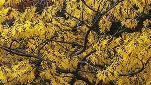 Busch Mit Gelben Blüten : zaubernuss dieser strauch bersteht sogar winterst rme ~ Frokenaadalensverden.com Haus und Dekorationen