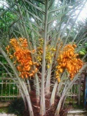 data pohon kurma   berbuah  indonesia bibit
