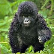 baby mountain gorilla ...Cute Mountain Gorilla