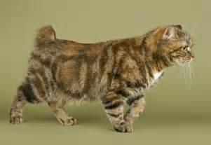 manx cats the manx cat cat breeds encyclopedia
