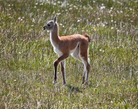 Grassland Animals That Are Herbivores