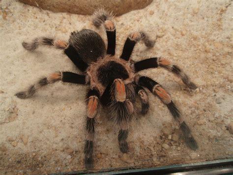 types  tarantula keeping exotic pets