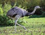 Greater rhea - Wikipedia