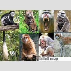 Ape Vs Monkey  Info And Games