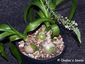 Pregnant Onion Mother Plant    Xl Bulb  Ornithogalum