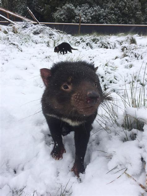 This page contains tasmanian devil facts for kids and adults and is part of our australian animals series. Tasmanian devil plays in the snow at an animal sanctuary