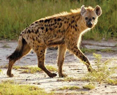ideas  hyena  pinterest da inquisition
